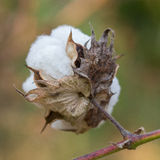 Close-up of Ripe cotton bolls on branch Stock Photo