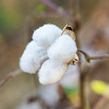 Close-up of Ripe cotton bolls on branch Stock Images