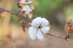 Close-up of Ripe cotton bolls on branch Royalty Free Stock Image