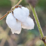 Close-up of Ripe cotton bolls on branch Royalty Free Stock Photos