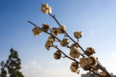 Close-up of Ripe cotton bolls on branch against cloudy blue sky Royalty Free Stock Image