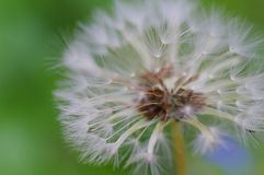 Close-up of ripe dandelion seeds ready to fly. Soft focus stock image