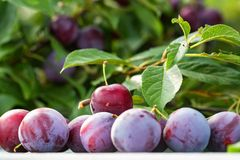 Ripe cherry plums and tree branch close. Close up ripe fruit of cherry plum on table and tree branch in garden. Vegetarian healthy summer food concept stock image
