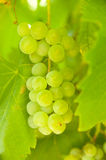 Close-up of ripe golden grapes hanging in vineyard Stock Photography