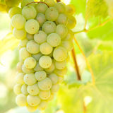 Close-up of ripe golden grapes in vineyard Royalty Free Stock Image