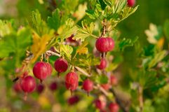 Close Up Of Ripe Gooseberry On A Bush Stock Photography