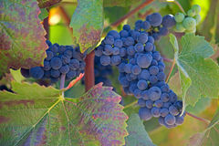 Close up of ripe grape cluster on vine Royalty Free Stock Images
