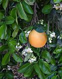 Ripe grapefruit and flowers Royalty Free Stock Photography