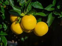 Ripe grapefruits. Close up of ripe grapefruits Stock Photos