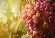 Close-up Ripe grapes in fall. Stock Photo
