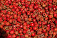 Hawthorn. The close-up of ripe hawthorn Royalty Free Stock Photography