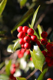 A Close Up of Ripe Holly Berries Royalty Free Stock Photography