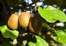 Close-up of ripe kiwi fruit on the bushes. Italy agritourism Stock Photography