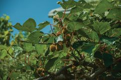 Close-up of ripe kiwi fruits stuck to leafy branch. In a sunny day, on a house courtyard at Manteigas. It is the genuine mountain village at the Serra da stock images