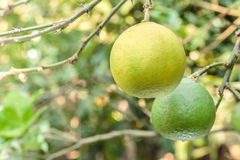 Close up ripe lime in garden. Royalty Free Stock Photos