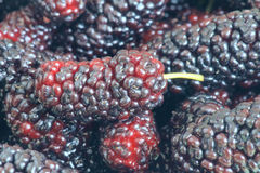 Mulberry fruit. The close-up of ripe mulberry fruit stock photography