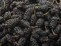 The close-up of ripe mulberry fruit. Background royalty free stock images