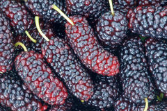 Mulberry fruits Royalty Free Stock Photos