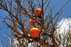 Close-up of ripe orange fruits at tree stock photography