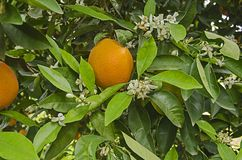 Ripe oranges on tree. Close up of Ripe oranges on tree stock images