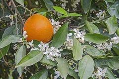 Ripe oranges on tree. Close up of Ripe oranges on tree stock image