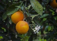 Ripe oranges on tree. Close up of Ripe oranges on tree royalty free stock images
