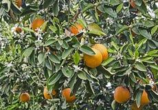 Ripe oranges on tree. Close up of Ripe oranges on tree stock photography