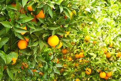Close up of multiple organic ripe perfect orange fruits hanging on tree branches in local produce farmers garden. Beautiful orange Stock Photo