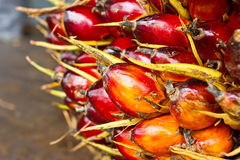 Close up Ripe palm fruit Stock Photos