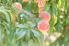 Close-up of ripe peaches on peach tree in orchard Royalty Free Stock Photos