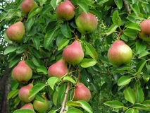 Close-up of ripe pears Royalty Free Stock Photos
