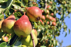 Close-up of ripe pears Royalty Free Stock Image