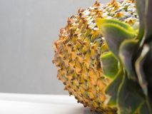 Close-up of ripe pineapple peel with stiff green leaves in the foreground. Close-up of ripe pineapple peel with stiff green leaves in the foreground, on white Royalty Free Stock Photo