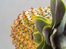 Close-up of ripe pineapple peel with stiff green leaves in the foreground. Close-up of ripe pineapple peel with stiff green leaves in the foreground, on white Stock Photo