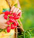 Close-up of ripe radish. Close-up on ripe radish, woman gardener growing organic green vegetables, healthy eating concept, female holding food in hands, harvest Royalty Free Stock Photos