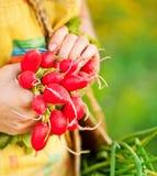 Close-up of ripe radish Royalty Free Stock Photos