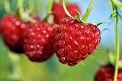 Close-up of ripe raspberry Royalty Free Stock Photo