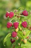 Close-up of the ripe raspberry Royalty Free Stock Photos