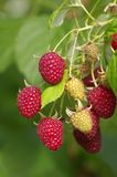 Close-up of the ripe raspberry Stock Image