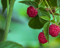 Close-up of the ripe raspberry. In the fruit garden Stock Images