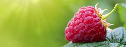 Close-up of the ripe raspberry in the fruit garden. Raspberries closeup. Ripe raspberry in the fruit garden Stock Photography
