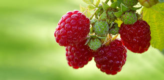 Close-up of the ripe raspberry in the fruit garden. Stock Image