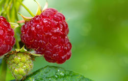 Close-up of the ripe raspberry in the fruit garden. Raspberries. Growing Organic Berries closeup. Ripe raspberry in the fruit garden Stock Images