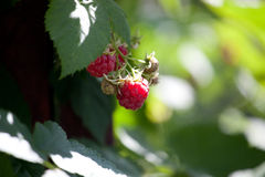 Close-up of the ripe raspberry in the fruit garden Royalty Free Stock Photo
