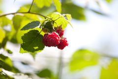 Close-up of the ripe raspberry in the fruit garden Stock Images