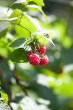 Close-up of the ripe raspberry in the fruit garden Royalty Free Stock Photography