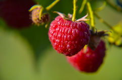 Close-up of the ripe raspberry Royalty Free Stock Images