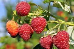 Close-up of ripe raspberry Royalty Free Stock Photo