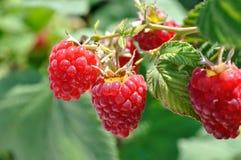 Close-up of ripe raspberry Stock Photo