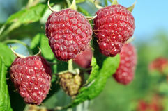 Close-up of ripe raspberry Royalty Free Stock Images